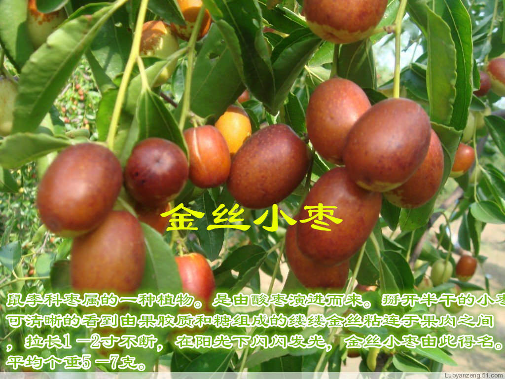 无核红枣树价格苗