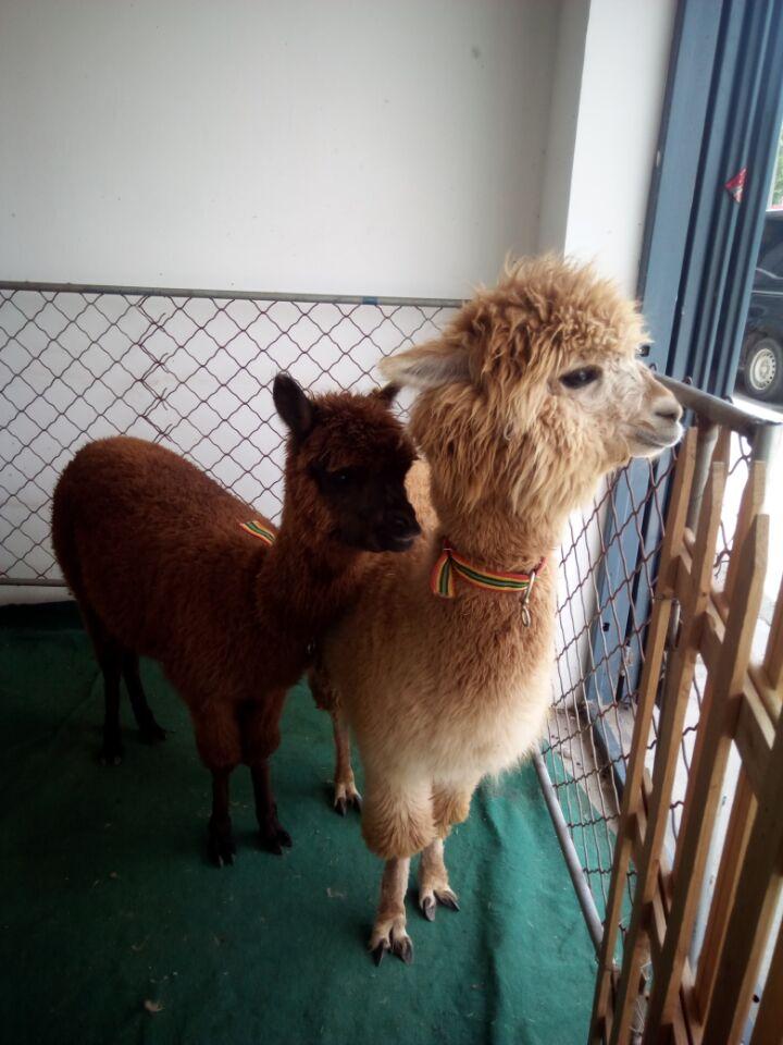 羊驼为偶蹄目,骆驼科,美洲驼属动物,别名也叫美洲驼,无峰驼.