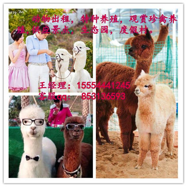 密山动物出租 羊驼展览