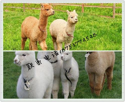 广州哪里有出租羊驼的