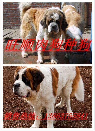 体型最大的狼青犬价格图片
