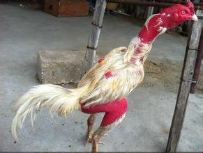 乐山比赛斗鸡多少钱一只