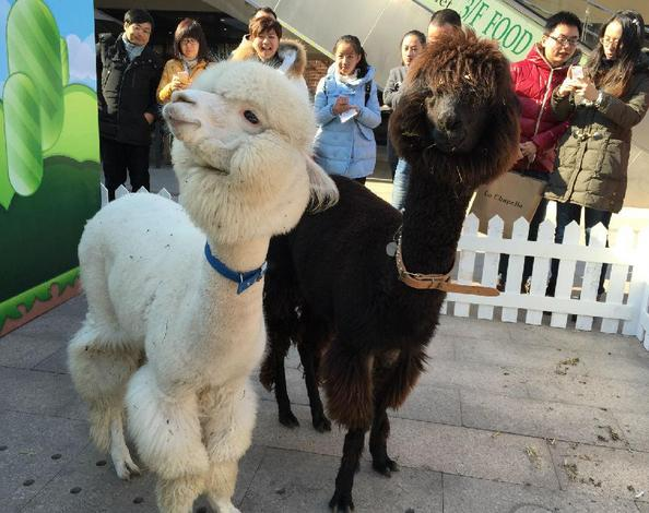 羊驼动物图片大全