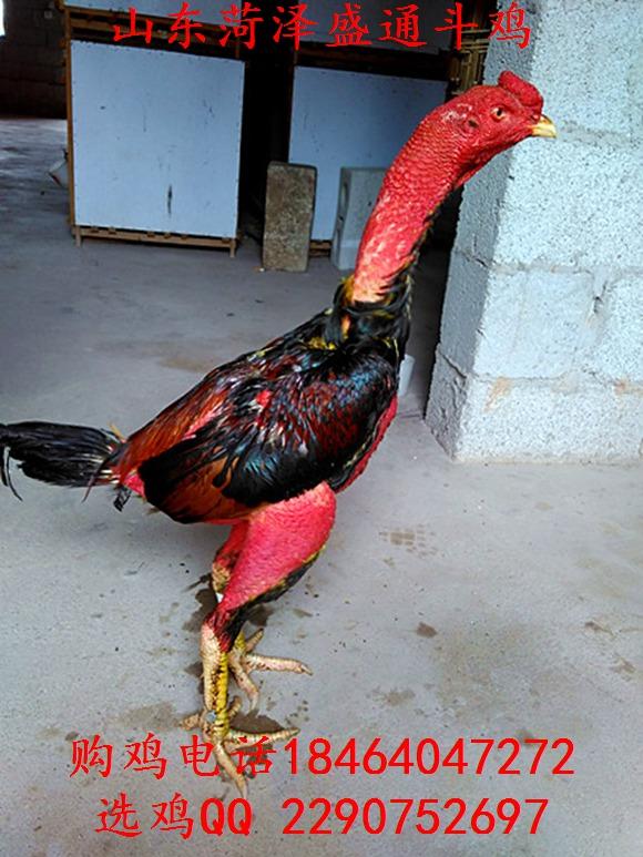 广州缅甸斗鸡,斗鸡论坛高清图片