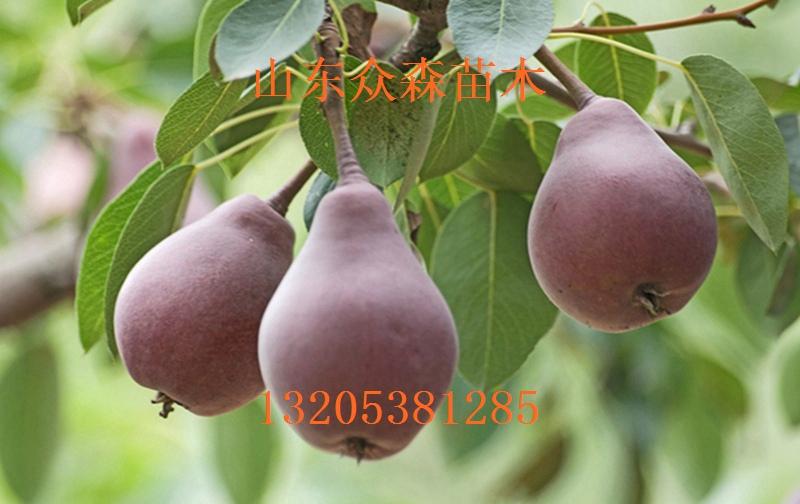 四川梨树的品种这里的土壤疏松肥沃水源充足的优质