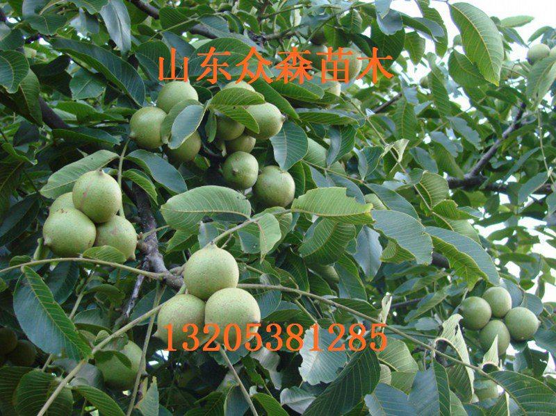乔纳森苹果树苗_供应信息_金农网
