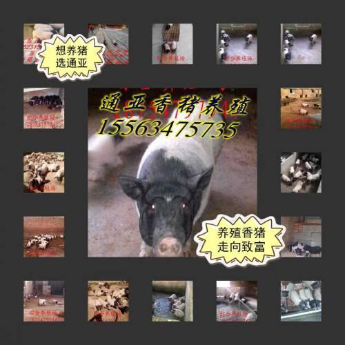 云南景洪市&哪里有巴马香猪养殖基地请咨询15562315453