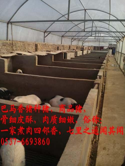 漳州巴马香猪养殖场小香猪苗养殖