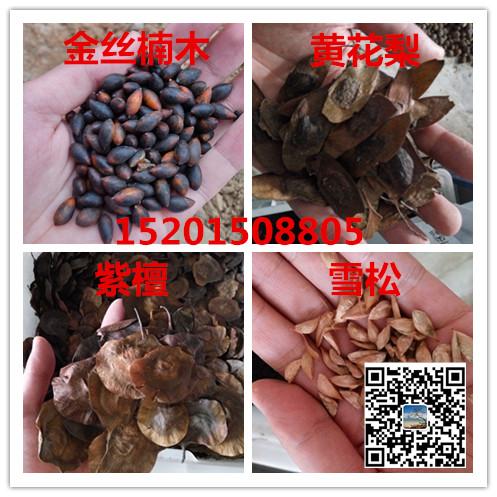 贵州金丝楠木种子
