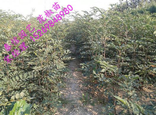 花椒树几年结果