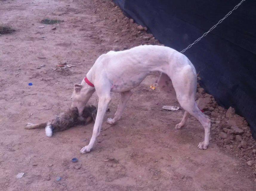 马犬视频山东猎犬养殖场常年出售金毛犬马犬格力犬比特灰比特格
