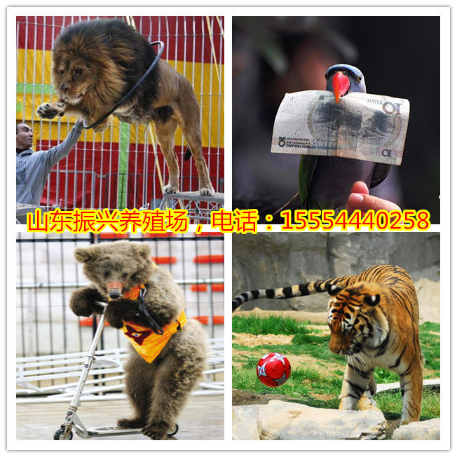 益阳马戏团表演 海狮表演节目羊驼互动