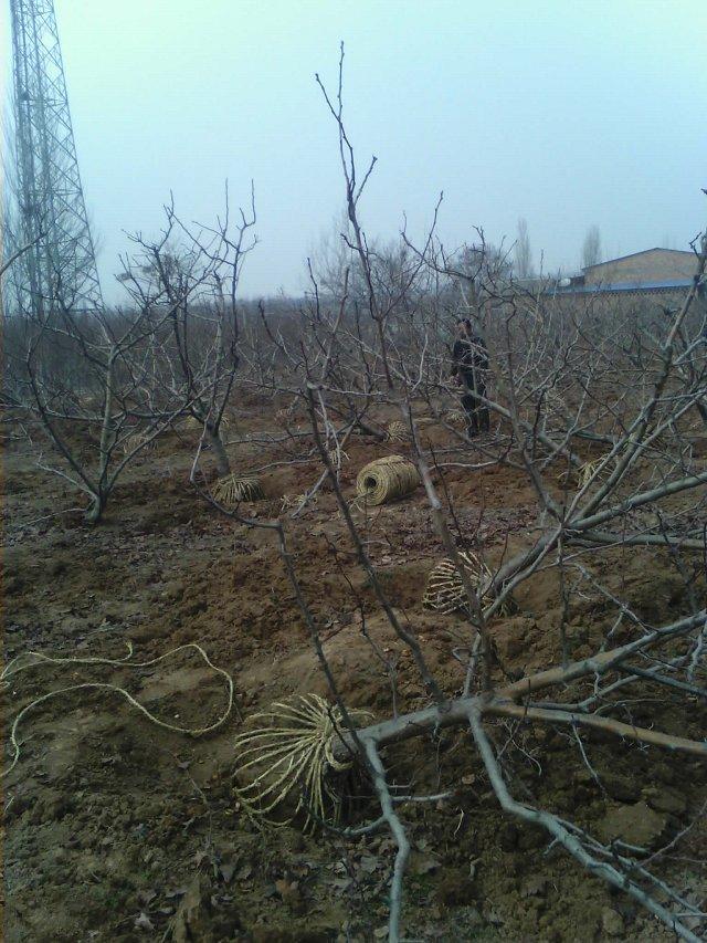山西3-15公分苹果树