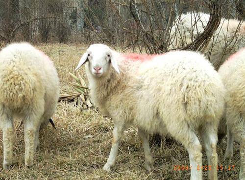 绵羊图片大全可爱
