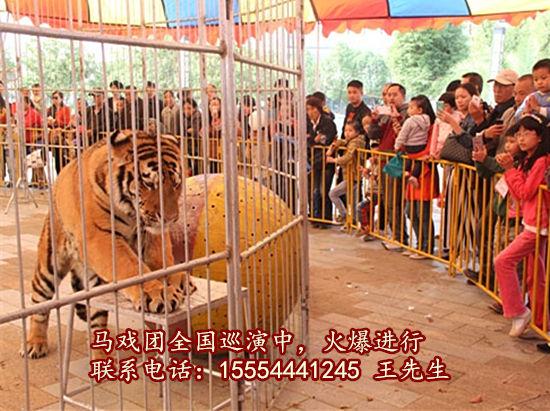 出租海狮表演-动物出租-出租马戏团表演