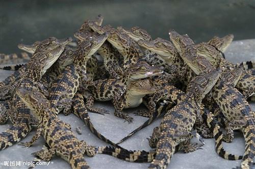 吉林哪里有卖鳄鱼肉的多少钱一斤