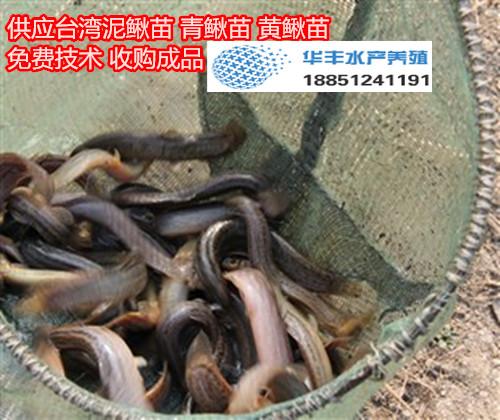 泉山区小泥鳅苗去哪里买泥鳅苗出售