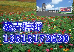 单株红枫树-红枫种子价格一般多少钱