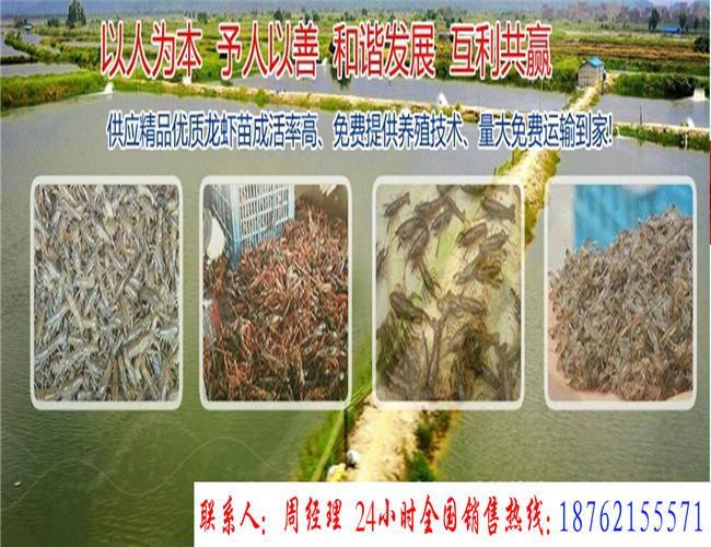 莘县小龙虾批发价格18762155571