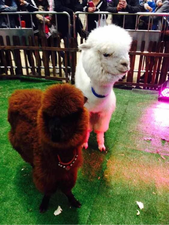 出租羊驼 动物表演