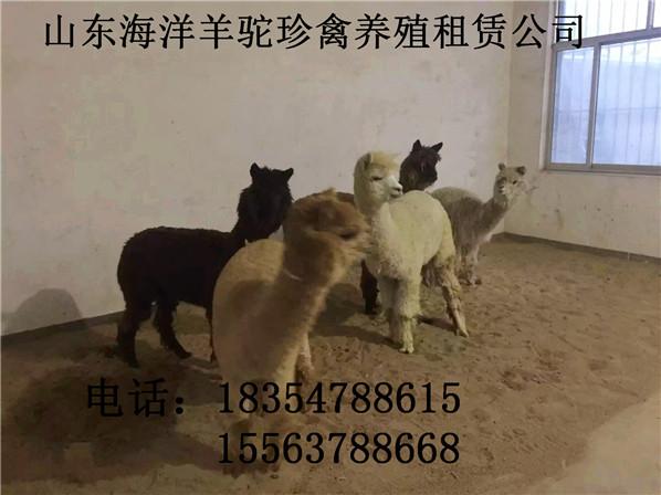 和田羊驼出租动物展览马戏团表演