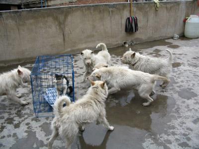 杭州肉狗价格肉狗多少钱一斤