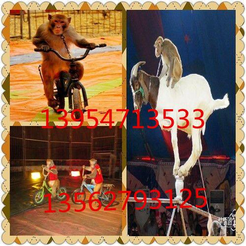 常德马戏团表演租赁羊驼租赁山东祥顺动物