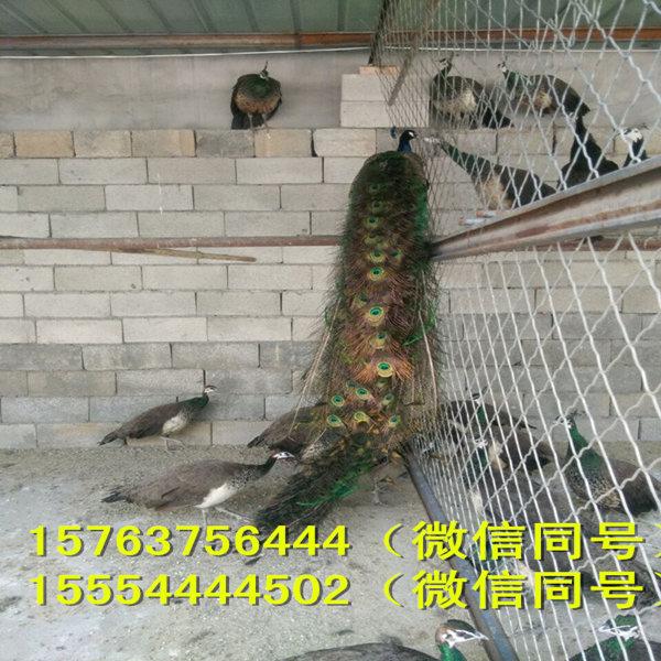 动物本领图片 孔雀