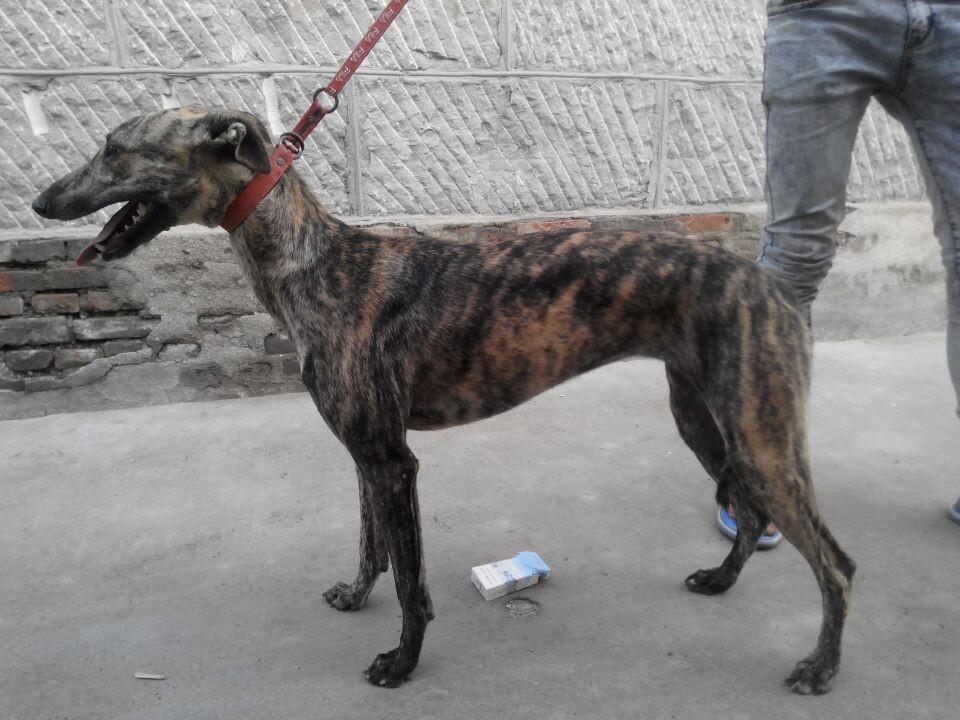 掐窝格力犬是动物界中*擅长奔跑的一种