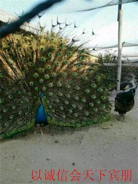 动物 鸡 270_360 竖版 竖屏