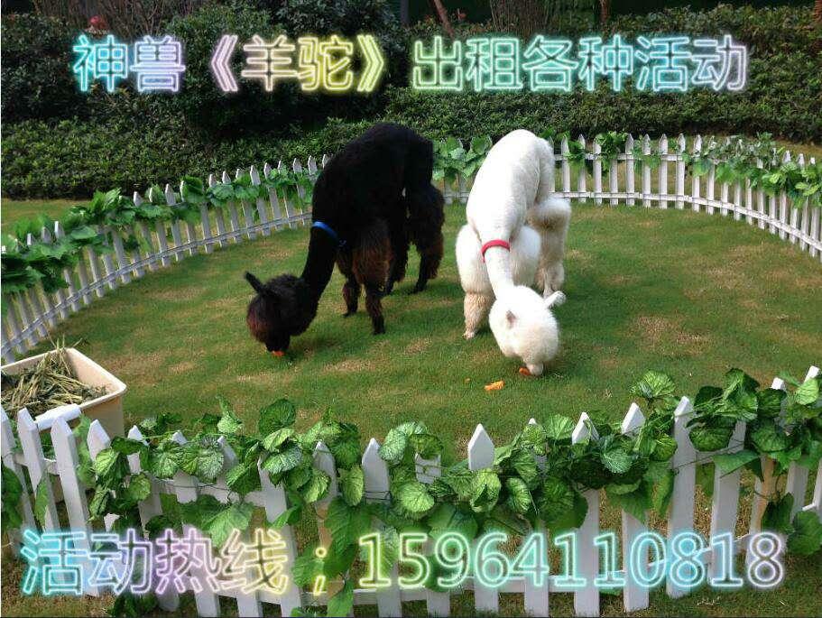 太谷县羊驼出租 百鸟展