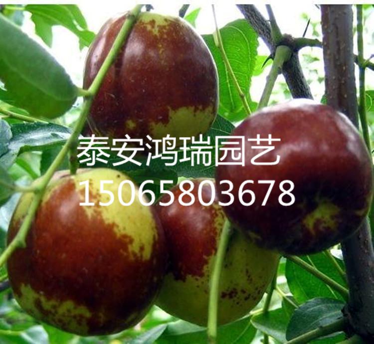 圆枣树几年结果